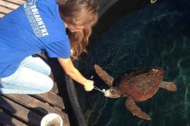 Sea turtle volunteering