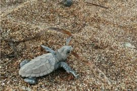 baby turtle Greece