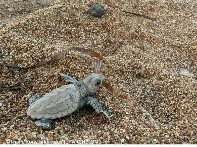 baby turtle Greece
