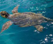 loggerhead sea turtle Greece
