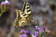 Papilio machaon in Kythnos