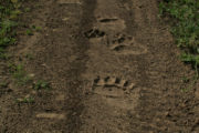 Bears pawprint