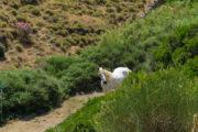 Wild horse on Kythnos island