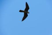 eleonora's falcon in Kythnos