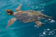 loggerhead sea turtle Greece
