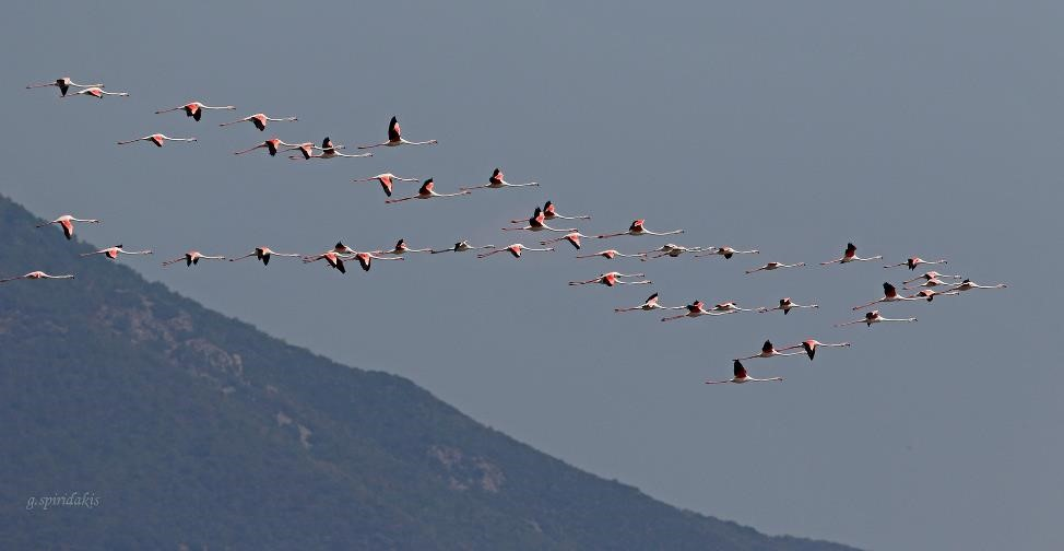 Flamingos at the Lake Kerkini Greece