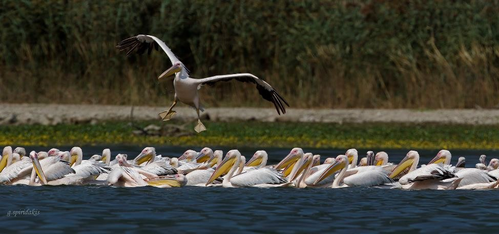 Great white Pelicans of the Lake Kerkini