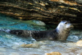 Monk seal by Natural Greece