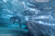 monk seal in Greece