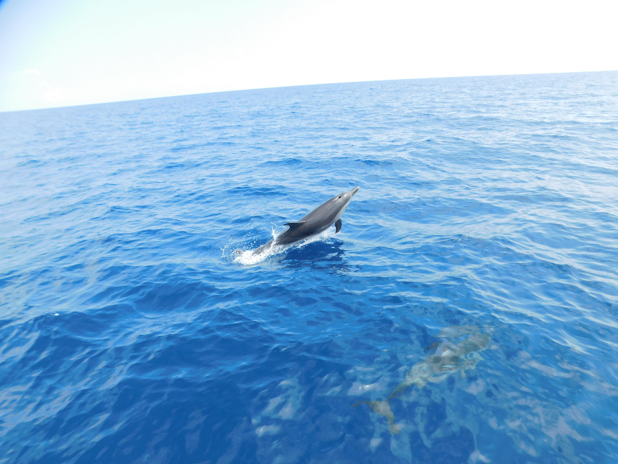 Striped dolphins in Alonissos by Natural Greece