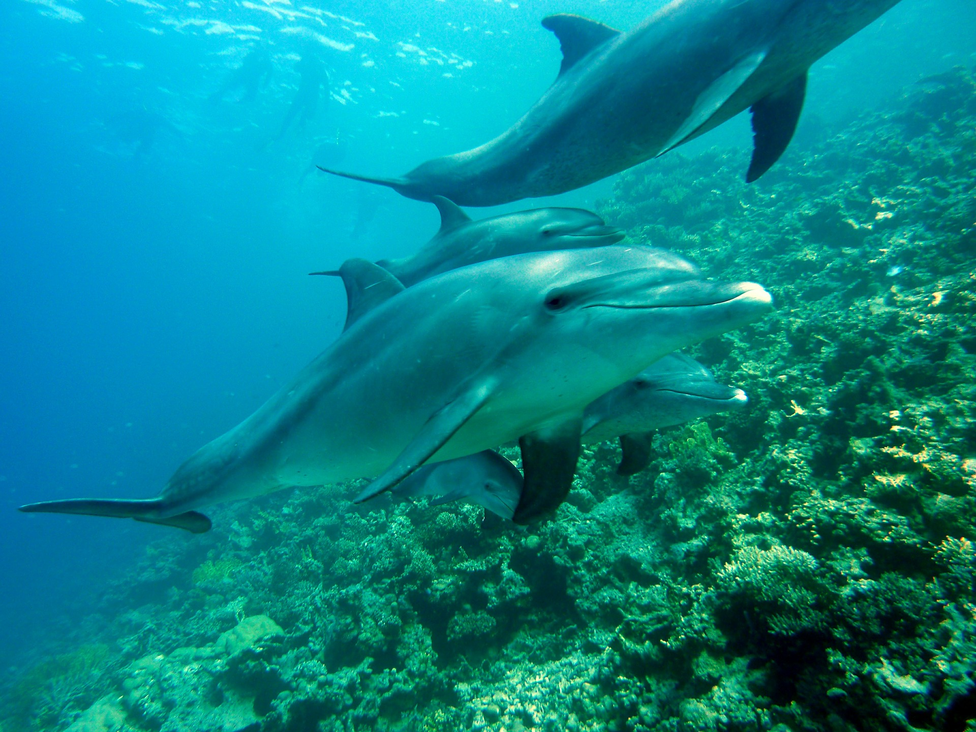 Bottlenose Dolphins - another species under protection