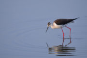 Black-winged stilt in Lesvos - Himantopus himantopus