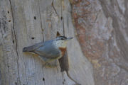 Kruper's nuthatch in Lesvos island